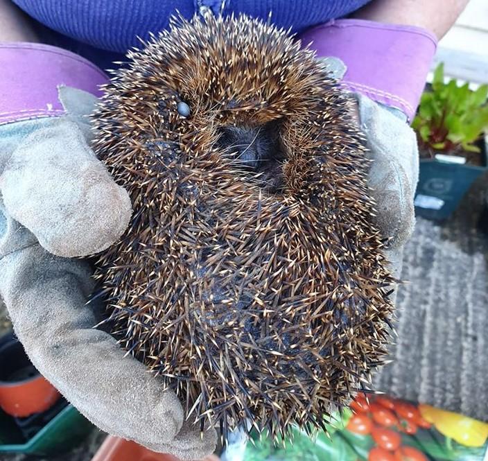 curled up hedgehog being held
