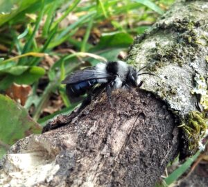 Grey-haired Mining Bee